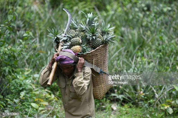 An Indian labourer seen carrying freshly harvested pinapple inside a basket in the outskirts of Agartala the capital of northeastern state of Tripura...