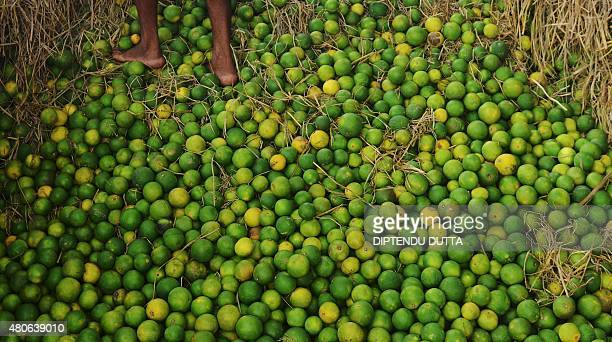 An Indian labourer sorts fresh sweet limes in the back of a truck at a market in Siliguri on July 14 2015 AFP PHOTO / Diptendu DUTTA