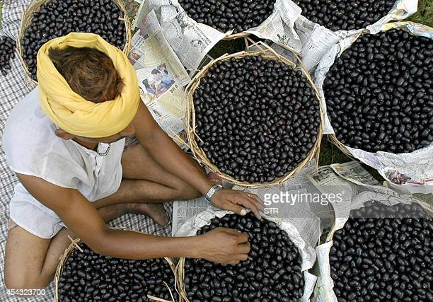 An Indian labourer Surinder fills his basket with the summer fruit 'Jamun' which is in heavy demand during the summer in Amritsar 04 July 2005 India...
