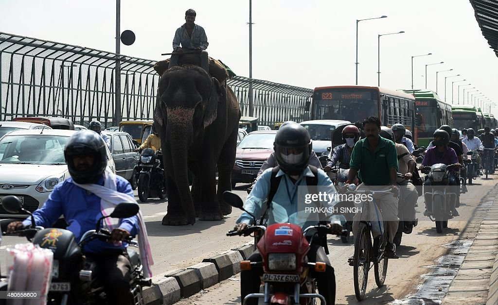 An Indian mahout rides an elephant through traffic in New Delhi on July 13, 2015. Elephants and camels are often seen among traffic as they travel along roads to participate in religious ceremonies and marriages in the Indian capital.