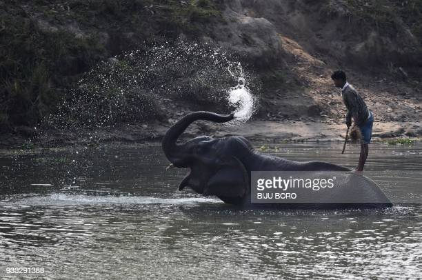 An Indian mahout stands on his elephant as it washes itself after forestry officials conducted a census of one horn rhinos at the Pobitora Wildlife...