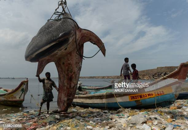 TOPSHOT An Indian man stands with a whale shark that washed ashore and was lifted out by a crane for inspection by officials at Kasimedu fishing...