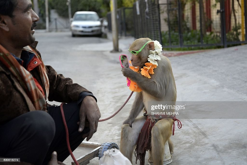 An Indian monkey trainer encourages a monkey to perform tricks on a residential street in Jalandhar on December 25 2016 Though banned in India monkey.