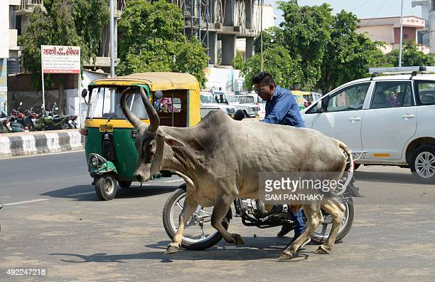 An Indian motorcyclist swerves to avoid running into cow running across the road in Ahmedabad on October 11 2015 AFP PHOTO / Sam PANTHAKY