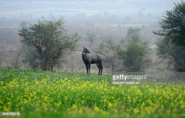An Indian nilgai the largest of the Asian antelopes also known as blue bulls walks near a mustard field in Jhunsi village on the outskirts of...