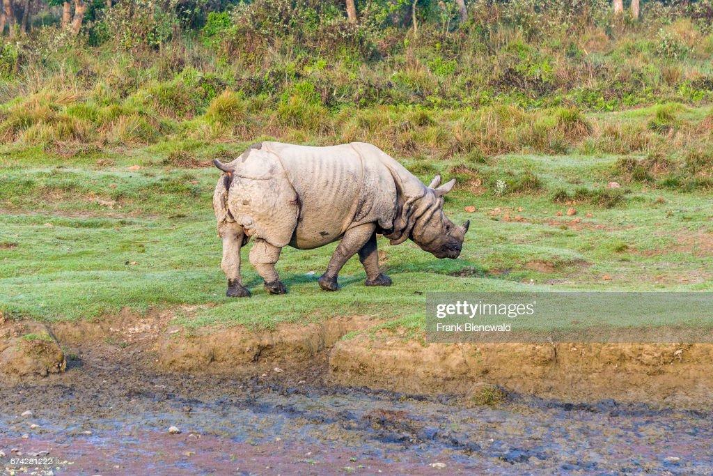 An indian one-horned rhinoceros (Rhinoceros unicornis) is... : News Photo