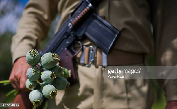 An Indian paramilitary soldier hold a bunch of poppy buds as Kashmir government officials destroy an illegally cultivated poppy patch on August 15...