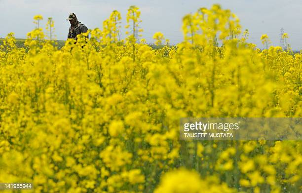 An Indian paramilitary trooper stands guard in a mustard field in full bloom near Awantipora, some 45kms south of Srinagar, on March 27, 2012....