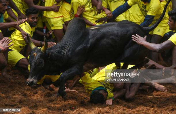 An Indian participant falls under a bull while trying to control it at the annual bullwrestling event 'Jallikattu' in Allanganallur village on the...