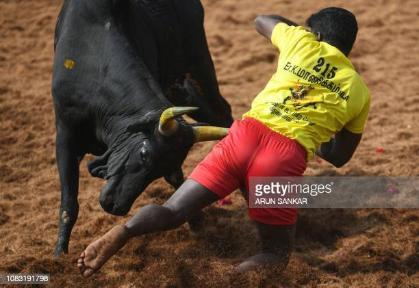 An Indian participant falls while trying to control a bull at the annual bull taming event 'Jallikattu' in Palamedu village on the outskirts of...