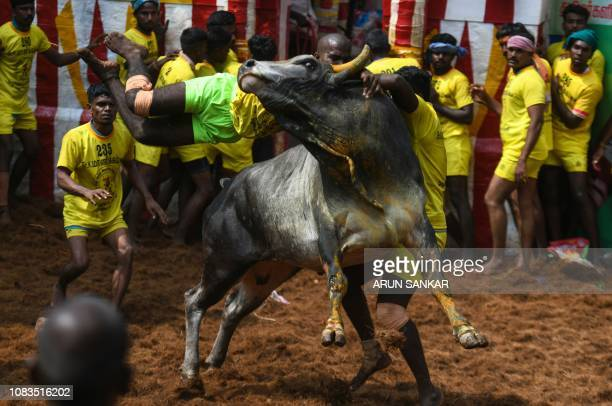 An Indian participant jumps over a bull while trying to control it at the annual bullwrestling event 'Jallikattu' in Allanganallur village on the...