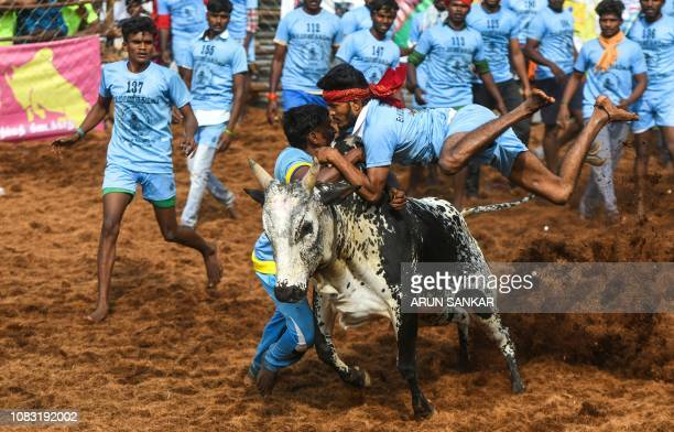 An Indian participant jumps over while trying to control a bull at the annual bull taming event 'Jallikattu' in Palamedu village on the outskirts of...
