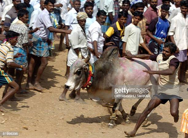 An Indian participant runs and tries to catch a bull during a bull taming festival in the village of Palamedu some 500 km southwest of Madras 15...