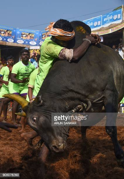 An Indian participant tries to control a bull during an annual bull taming event 'Jallikattu' in the village of Palamedu on the outskirts of Madurai...