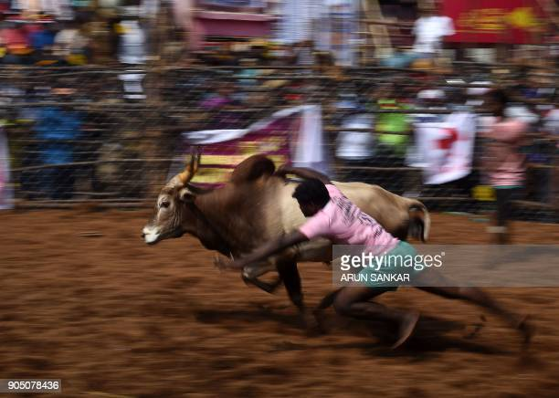 TOPSHOT An Indian participant tries to control a bull during an annual bull taming event 'Jallikattu' in the village of Palamedu on the outskirts of...