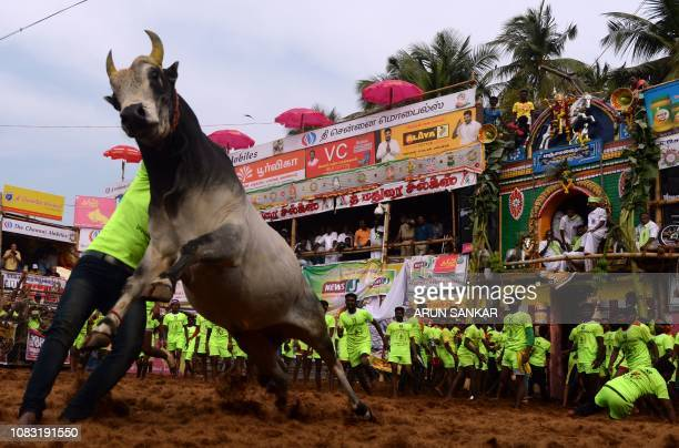An Indian participant tries to control a bull during the annual bull taming event 'Jallikattu' in Palamedu village on the outskirts of Madurai in the...