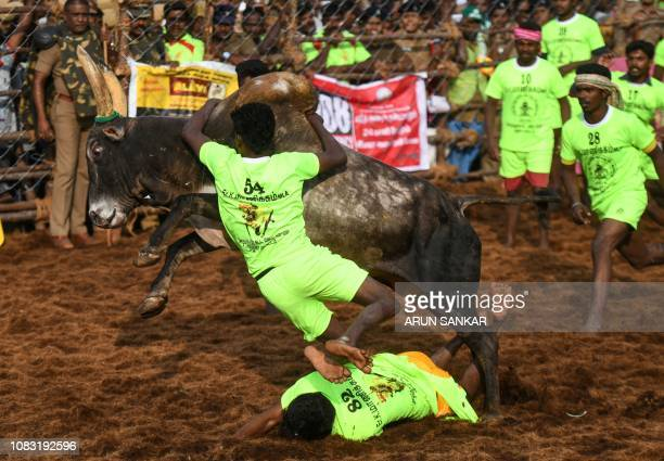 An Indian participant tries to control a bull while another one falls underneath at the annual bull taming event 'Jallikattu' in Palamedu village on...