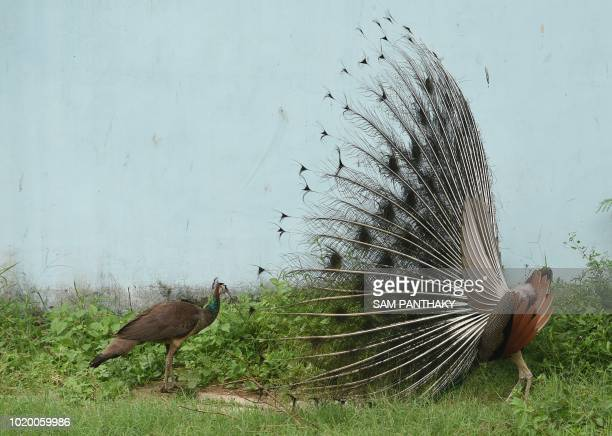An Indian peacock dances with its feathers out in an attempt to impress a peahen in Ahmedabad on August 20 2018
