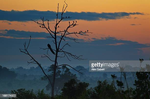 an indian peacock in a tree at sunrise. - alex saberi stock pictures, royalty-free photos & images