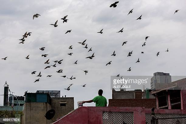 An Indian pigeonkeeper feeds his birds on a rooftop in New Delhi on April 12 2015 AFP PHOTO / ALEX OGLE