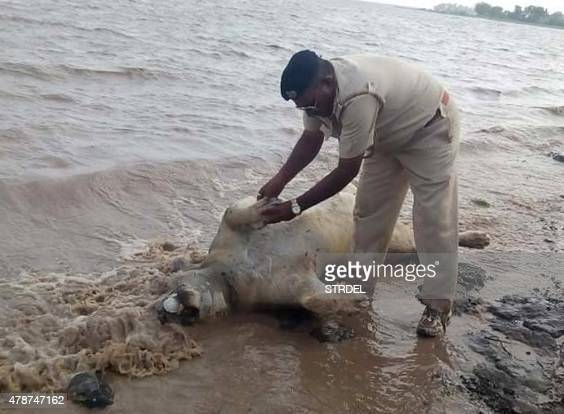 An Indian police personnel examines the body of an Asiatic lion on the banks of a river in the Saurashtra region of Gujarat on June 27 2015 Relief...