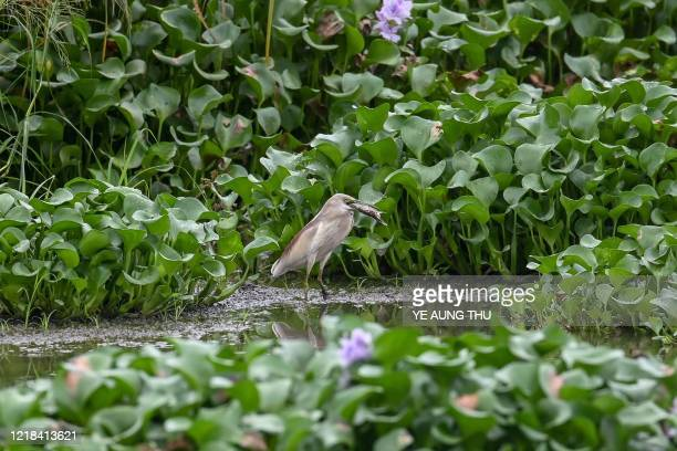 An Indian pond heron catches a fish at the edge of a lake near Samalauk in Myanmar's Irrawaddy region on June 8, 2020.