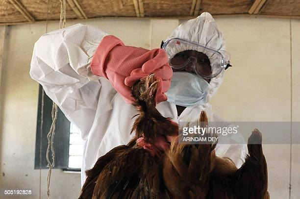 An Indian poultry farm worker culls a chicken during a culling operation after an outbreak of avian flu at a government poultry farm in Gandhigram on...