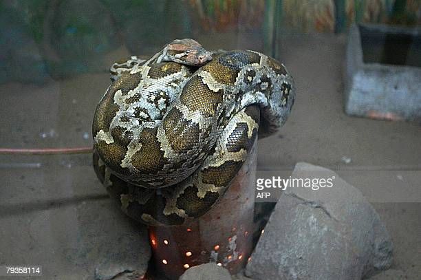 An Indian Python coils itself for warmth on an earthen pot fitted with an electric bulb in its enclosure at the Kamala Nehru Zoological Garden in...