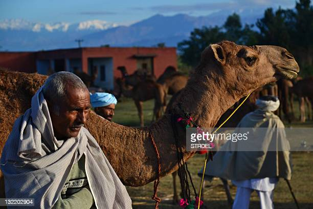 An Indian Rajasthani camel herder stands near his livestock brought for sale to the annual farmers fair at Shama Chak Jhiri some 22 kms from Jammu on...