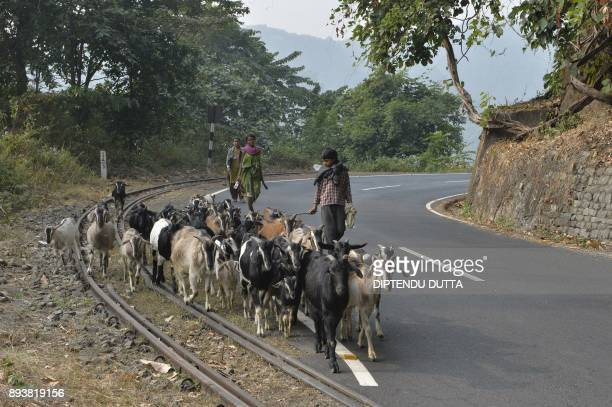 An Indian shepherd family herds his flock of goats across the tracks of the Darjeeling Himalayan Railway train locally known as the 'toy train' in...