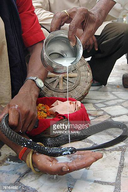 An Indian snake charmer holds a snakes as a devotees offers milk to the snake at The Shiva Temple in Amritsar 18 August 2007 on the occasion of Naga...