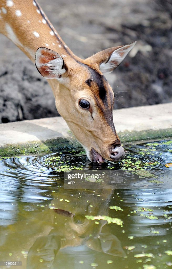 An Indian spotted deer drinks water from a pond at the Nehru Zoological Park in Hyderabad on 'World Environment Day', June 5, 2010. This year the theme of World Environment Day 2010 is �Many Species. One Planet. One Future.� The theme reflects the important task of saving and conserving the different forms of life on earth. AFP PHOTO/Noah SEELAM