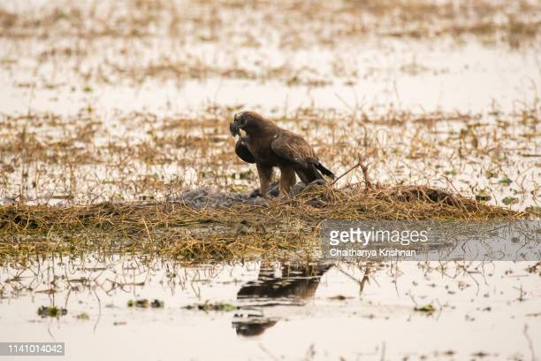 An Indian spotted eagle protecting its kill from the crows inside Keoladeo National Park