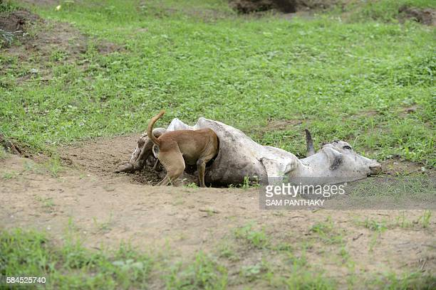 An Indian stray dog feasts upon a dead cow on the outskirts of Bhuvaldi village of Ahmedabad district on July 29, 2016. Indian Dalit, Sombhai Chamar...