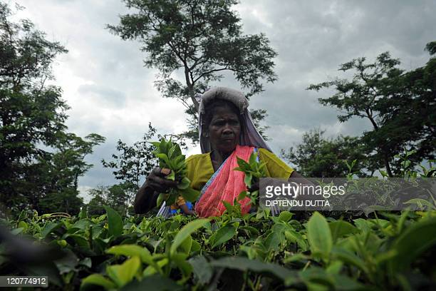An Indian tea garden worker plucks leaves at the Dagapur Tea Garden on the outskirts in Siliguri on August 10, 2011. Workers from this tea garden are...