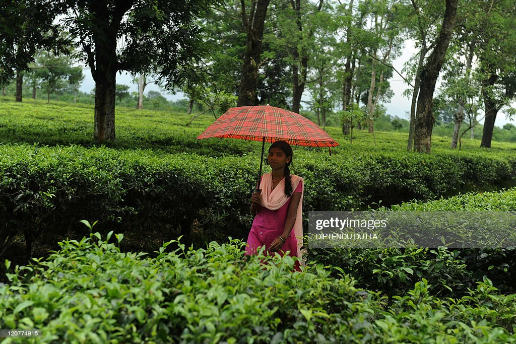 An Indian Tea Garden Worker Walks With An Umbrella Through The Sukna Tea  Garden On The