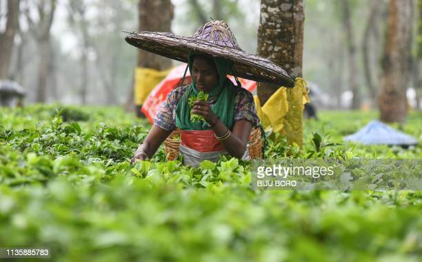 An Indian tea plantation worker picks leaves at a tea garden during rain in Golaghat, some 286 km from Guwahati, in the northeastern state of Assam.