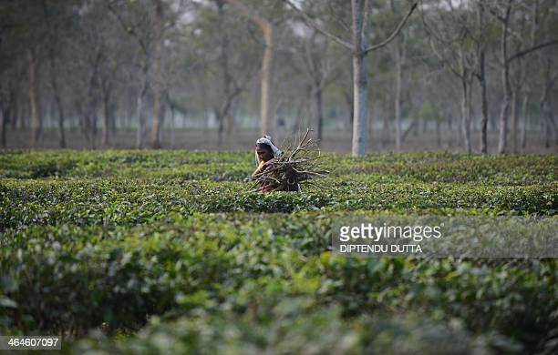 An Indian tribal resident collects dry tea bushes to be used for firewood at the Dagapur tea garden on the outskirts of Siliguri in the eastern state...