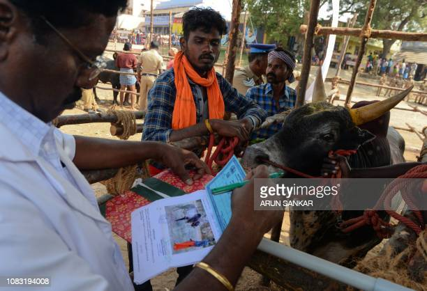 An Indian veterinarian inspects a bull at the annual bull taming event 'Jallikattu' in Palamedu village on the outskirts of Madurai in the southern...