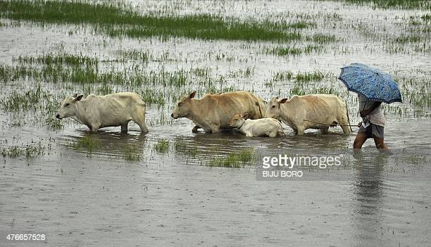 An Indian villager walks cattle through floodwater in Mayong village some 40 kms from Guwahati on June 11 2015 Flooding in India's northeastern state...