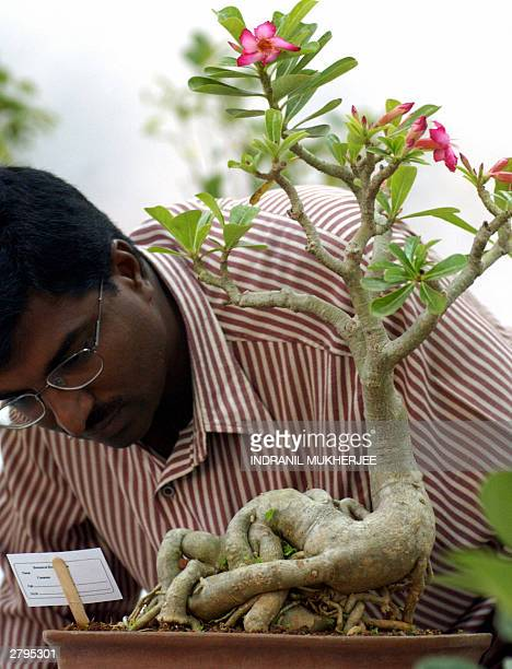 An Indian visitor inspects a 16 yearold Abennium Obesum upright style bonsai plant at an exhibition in Bangalore 09 December 2003 The artistic...