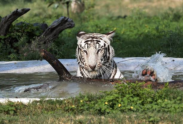 An Indian white tiger cools off in a pond in its enclosure at Chhat Bir Zoo on the outskirts of Chandigarh on May 22 2016 Temperatures have soared to.