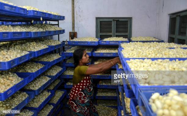 An Indian worker arranges trays of silkworms in cocoons at a silk producing factory in Dharmanagar in India's northeastern state of Tripura on June 6...