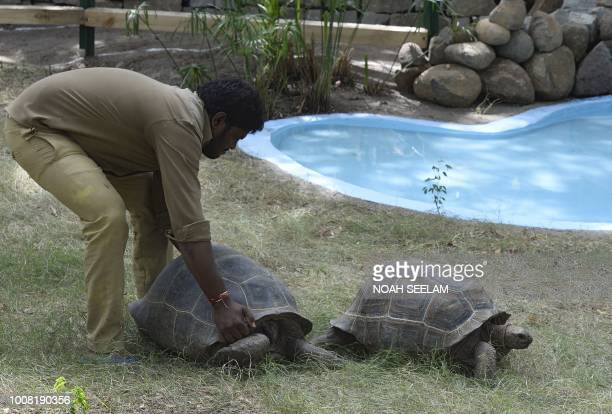 An Indian zookeeper places an Aldabra giant tortoise released in to the exhibit of an enclosure at the Nehru Zoological Park in Hyderabad on July 31,...