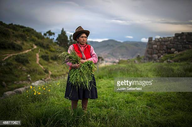 An indigenous Peruvian woman cuts crops above the Incan city of Cusco from Sacsayhuaman on January 13 2014 in Cusco Peru The historic town of Cusco...