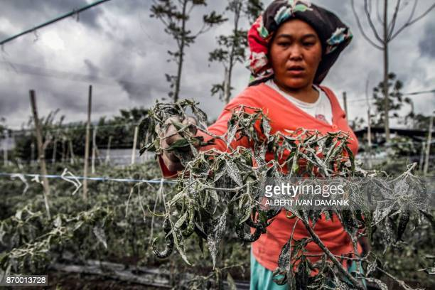 TOPSHOT An Indonesian farmer harvests her chillies during the eruption of Mount Sinabung volcano in Karo in North Sumatra on November 4 2017 Sinabung...