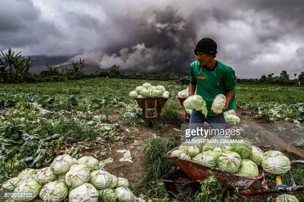 TOPSHOT An Indonesian farmer harvests his cabbages during the eruption of Mount Sinabung volcano in Karo in North Sumatra on November 4 2017 Sinabung...