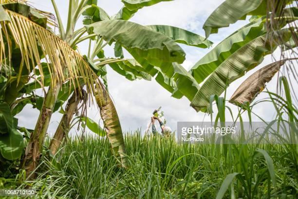 An Indonesian farmer in a paddy field Jembrana Regency Bali Indonesia in December 2018