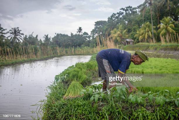 An Indonesian farmer planting a new crop at a village in Buleleng Regency Bali Indonesia on December 2 2018
