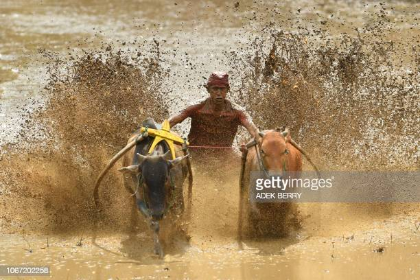 An Indonesian jockey rides two bulls with a cart during a traditional sport bull race locally called pacu jawi in Pariangan of Tanah Datar regency in...